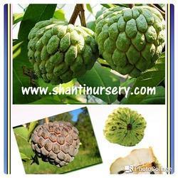 Sugar Apple Fruit Plant