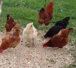 Chicken in Allahabad, चिकन , इलाहाबाद - Latest Price