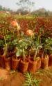 Trofical Dutch Rose Plants