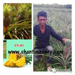 Pineapple Fruit Plant Queen Variety