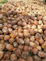 Solid Indian Coconut, Packaging Size: 20 Kg, Coconut Size: Medium