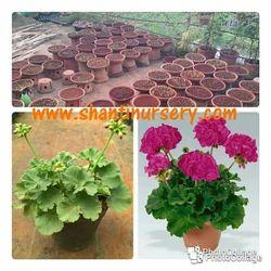 Geranium Flowering Plant