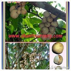 Langset Fruit Plant