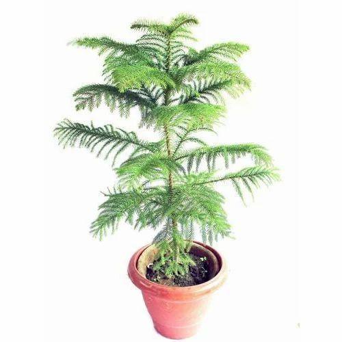 Christmas Tree Plant Xmas Trees Mondal Nursery Kolkata ID  - Christmas Tree Seedlings