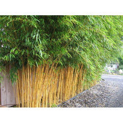 Bamboo Plants Manufacturers, Suppliers & Exporters