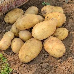 Fresh Ooty Potatos 🥔