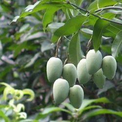 Mangifera Indica - Aambagarbh