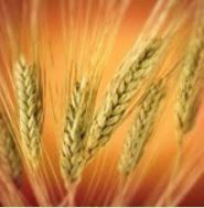 Wheat Seed HD- 2967, Pack Size: 40 Kg