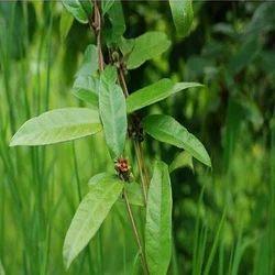 Himalayan Herbaria Inc. Brown Hemidesmus Indicus Extract
