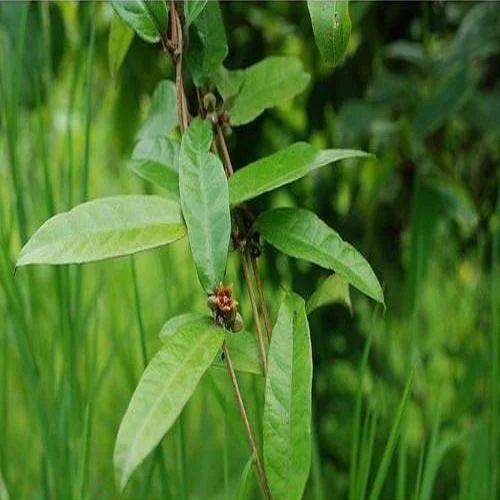 Hemidesmus Indicus Extract