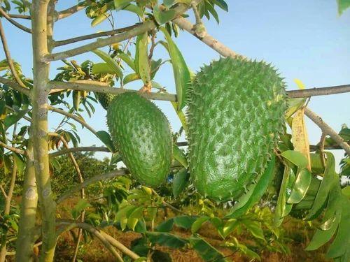 Soursop Graviola Ramphal Lakshmanphal Fruit Leaves And Juice