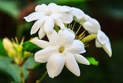 Jasmine CO2
