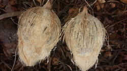 Fresh Brown Coconut - Husked/Semi Husked