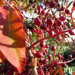Pistacia Chinensis - Kakdasingi Extract