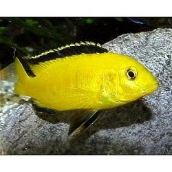 Cichlid in Howrah - Latest Price & Mandi Rates from Dealers