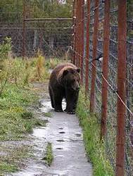 Solar Fencing for Bear