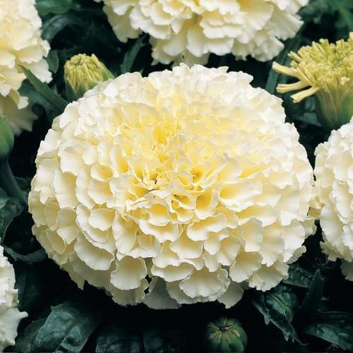 Hybrid Marigold Flower At Rs 40 Kilogram White Marigold Flowers
