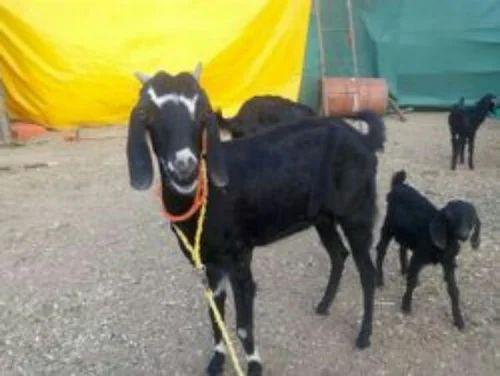 Sojat Goat and Shirohi Goat Wholesaler | Elite Goats, Nashik