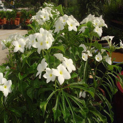 Flower Plant White Plumeria Plant Wholesale Trader From