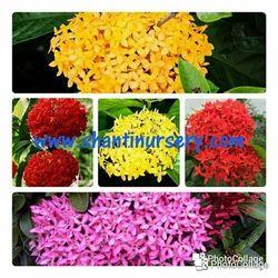 Exora Rangan Variety Flowering Plant