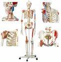 Model of Human Skeleton 170 Cm ( BEP-101-A )