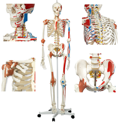 Model of Human Skeleton 170 Cm ( BEP-101-A )