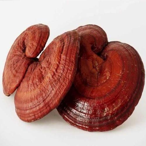 Ganoderma Mushroom Spawn Supplier In Amravati.