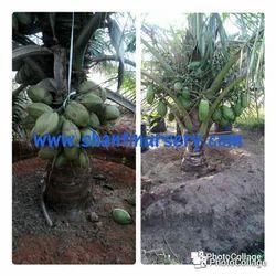 Ganga Bardhan Coconut Plant