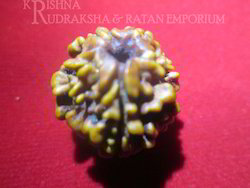 Brown One Mukhi Nepali Rudraksha