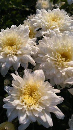 Chrysanthemumsamandhisevanthi cut white flowers at rs 100 chrysanthemumsamandhisevanthi cut white flowers mightylinksfo