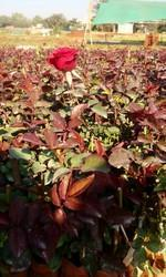 Dutch Rose Tree