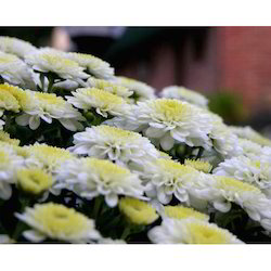 Chrysanthemum Tissue Culture Plant