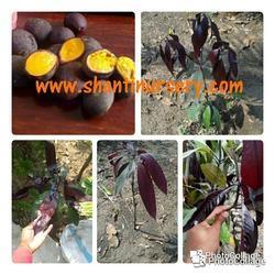 Thai Black Mango Plant