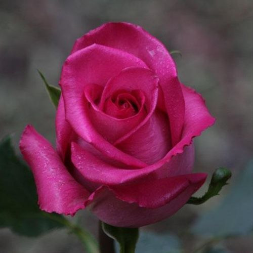 Fresh Rose Flower Gulab Ka Phool Flower