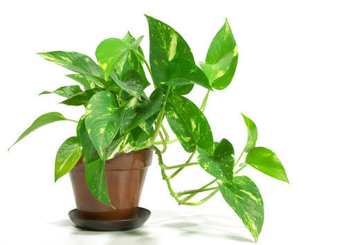 Image result for money plant