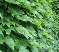 Ivy Powder Extract