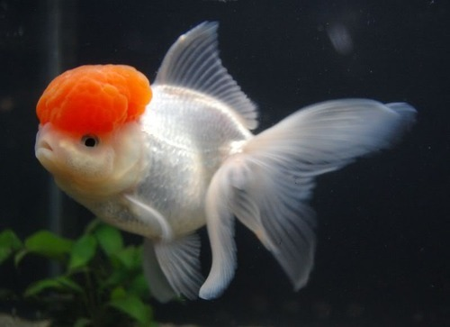 Live goldfish red cap goldfish wholesale trader from howrah for Carpa pesce rosso