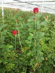 Dutch Rose Flower Plants