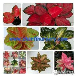 Aglaonema Thai Varity Flower Plant