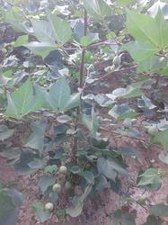 Cotton Hybrid Seeds