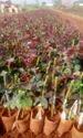 Taj Mahal ( Top Secret) Dutch Rose Plants