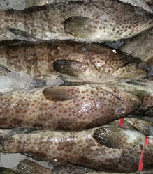 Brown Spotted Grouper, Size: 1 - 15