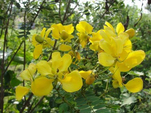 Herbal Flowers Avarampoo Senna Flowers Exporter From Salem