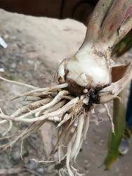 Tuberose seed