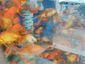 Bright Red Gold Fish