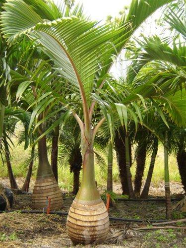bottle palm plants at rs 150 piece palm trees id 12089271188