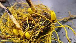 Golden Seal Root