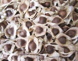 Drumstick Seeds (Moringa Seeds) Black & White