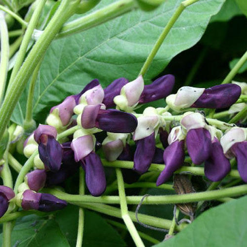 Image result for mucuna pruriens