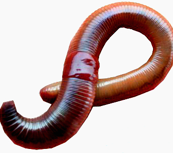 astha earthworms fishing worms for vermicomposting and fishing